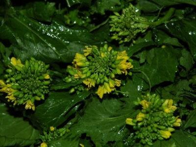 Broccolo Friariello di Napoli